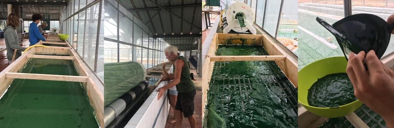 production artisanale de spiruline à Hyères